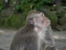Macaque monkey in Bali Stock Image