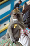 Macaque monkey in Batu Caves Royalty Free Stock Photo