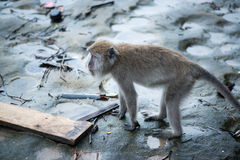 Macaque monkey. From behind in Bako national park in Borneo, Malaysia royalty free stock photos