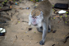 Macaque monkey. From behind in Bako national park in Borneo, Malaysia stock images