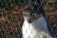 Macaque Monkey Behind Fence. Captive Macaque Monkey in Fenced Enclosure in London Zoo Stock Images