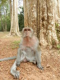Macaque Monkey in Cambodia royalty free stock photo