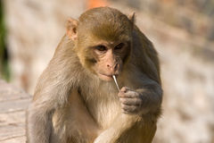 Macaque monkey. Monkey and chewing gum, India Stock Photos