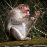 Macaque monkey cleaning itself in bamboo forest Royalty Free Stock Images