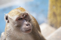 Macaque Monkey Closeup Stock Photography