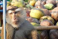 Macaque Monkey Coconut Absent Stock Photo