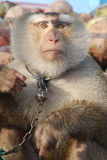 Macaque Monkey Coconut See Stock Photo