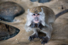 Macaque monkey. With different color of eyes in Bako national park in Borneo, Malaysia royalty free stock photos