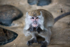 Macaque monkey. With different color of eyes eating food in Borneo, Malaysia stock photo