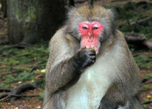 Macaque monkey eating banana. Macaque monkey in Landskron, near Villach Royalty Free Stock Photos