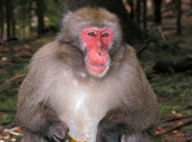 Macaque monkey eating banana. Macaque monkey in Landskron, near Villach Stock Photography
