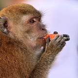Macaque monkey eating fruit. Close up of a macaque monkey eating fruit Stock Photos