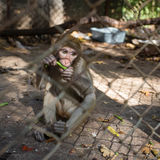 Macaque monkey eating greens in the cage Stock Photo