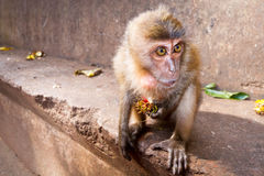 Macaque monkey eating lychee fruit Stock Images