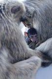 Macaque Monkey Family Stock Photo