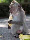 Macaque monkey feeding in Bali Stock Photography