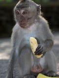 Macaque monkey feeding in Bali Royalty Free Stock Image