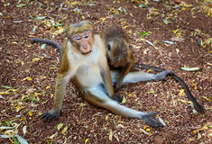 Macaque Monkey Foreplay Royalty Free Stock Photography