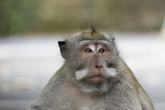 Macaque in Monkey Forest, Bali Royalty Free Stock Photo