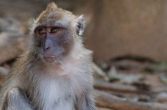 Macaque monkey. This foto of a macaque monkey I made during a vacation in Khao Lak (Thailand Royalty Free Stock Images