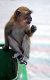 Macaque monkey on garbage bin. Macaque monkey on rubbish bin at batu caves Stock Photos