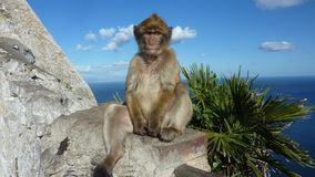 Macaque monkey in Gibraltar. Macaque monkey sitting on a rock in Gibraltar. He is staring the tourists very intensively, or maybe he is just meditating Royalty Free Stock Photo