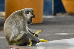 Macaque monkey from Grand Bassin sacred lake, Mauritius Royalty Free Stock Photo