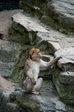 Macaque. A macaque (monkey) guarding other monkeys on the rock Royalty Free Stock Images