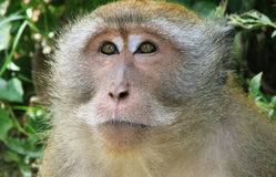 Macaque Monkey Head Royalty Free Stock Photography