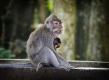 A Macaque Monkey with her baby. The monkeys within the Sacred Monkey Forest of Padangtegal are commonly called long-tailed macaques Stock Image