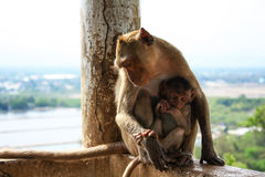 Macaque monkey with its baby. Macaque monkey with its baby under sunshine Royalty Free Stock Photography