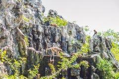 Macaque monkey jumping on rocks. Monkey Island, Vietnam Stock Images