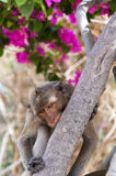 Hua Hin Monkey 06 Stock Image