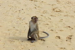 Macaque monkey, Krabi, Thailand Stock Images