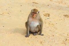 Macaque monkey, Krabi, Thailand Stock Photography