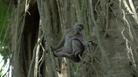 A macaque monkey looking around perched between two trees. Video of A macaque monkey looking around perched between two trees stock footage