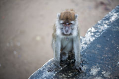 Macaque monkey. Looking for food in Bako national park in Borneo, Malaysia stock photography
