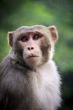 Macaque monkey (Macaca mulatta) Royalty Free Stock Image