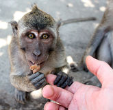 Macaque monkey. The macaques constitute a genus (Macaca) of Old World monkeys of the subfamily Cercopithecinae. The 23 species of macaques are widespread over stock images