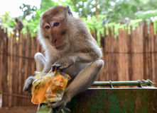 Macaque monkey and a meal from the trash, Krabi, Thailand. Monkeys in Thailand feed on what the tourists leave, if it is not secured. Established themselves royalty free stock photography