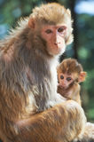 Macaque monkey mother with suckling baby Royalty Free Stock Photos
