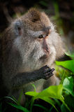 Macaque Monkey. A macaque monkey nibbles on some rice stalks near the sacred monkey forest in Ubud, Bali, Indonesia Royalty Free Stock Photography