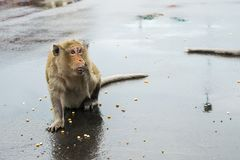 Macaque monkey nibbling on corn seeds in Cambodia royalty free stock photos