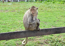 Macaque monkey nursing baby Stock Images
