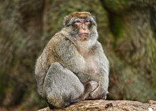 Macaque monkey. An old wise macaque monkey Royalty Free Stock Photography
