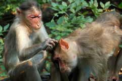 Macaque Monkey picking fleas Stock Photos