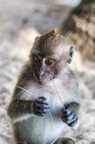 Macaque monkey plays on the nature Royalty Free Stock Photos