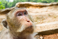 Macaque monkey portrait Stock Photo