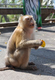 Macaque monkey portrait with banana. In hands Stock Photo