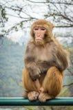 Macaque monkey portrait - boring Stock Image